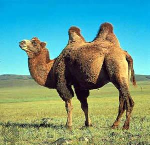 https://buletinolahraga.files.wordpress.com/2010/11/camel.jpg?w=300